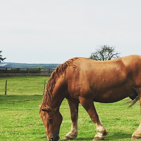 Guiting Power, UK: The Suffolk punch, majestic
