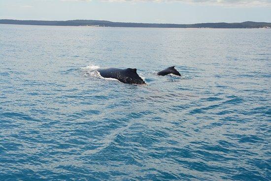 Urangan, Australia: whales
