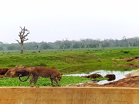 Tissamaharama, Σρι Λάνκα: Lampart