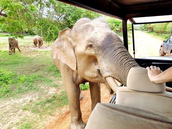Tissamaharama, Σρι Λάνκα: Bardzo znany słoń, uwielbia turystów, a zwłaszcza ich jedzenie. Trzeba uważać na kły.