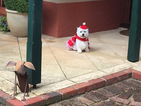 Above Bored Bed and Breakfast: I drove from the country with my dog for the Perth Westie Walkers fancy dress Christmas Party. I
