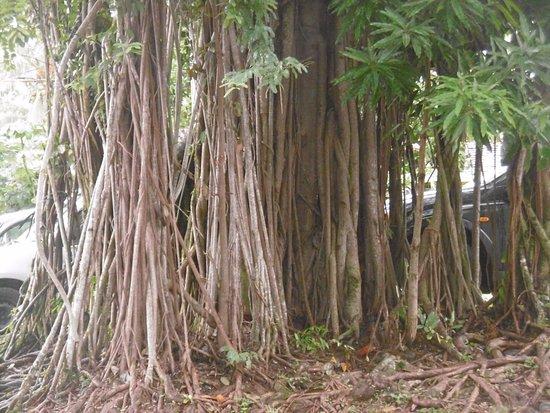 Trois-Ilets, Martinique: belles racines