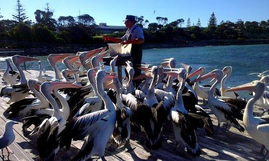 Kingscote, Australia: пеликаны