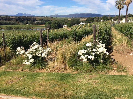 Wellington, Afrique du Sud : One of the vineyards
