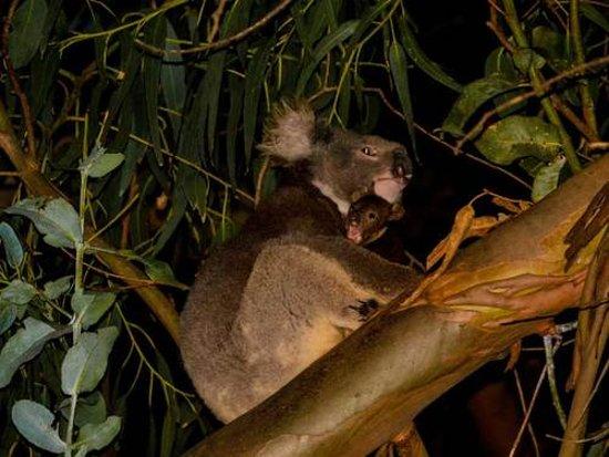 Hanson Bay, Australia: коала