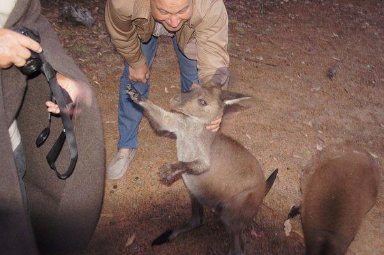 Hanson Bay, Austrália: кенгуру