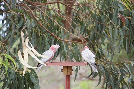 Hanson Bay, Australia: попугай