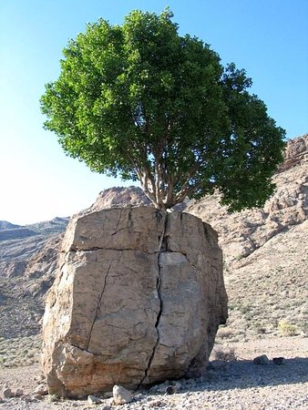 Green Pearl of Arsanjan: In the photo, you see a green tree that has split a gigantic rock and grown up.