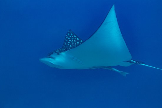 Jolly Harbour, Antigua: Eagle ray, the whale sharks of rays
