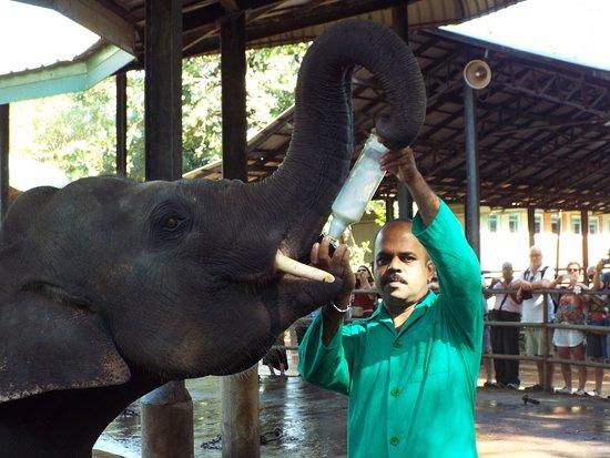 Pinnawala, Sri Lanka: milk time