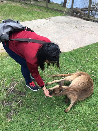 ‪‪Ballarat‬, أستراليا: feeding the kangaroos‬