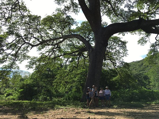 La Cruz, Κόστα Ρίκα: A stop at a tree that is over 300 years old