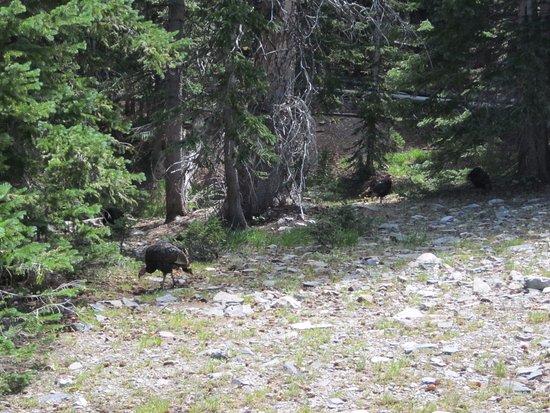 Parque Nacional Great Basin, NV: Turkeys
