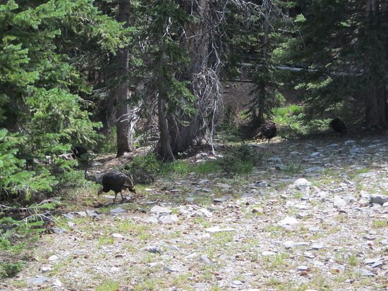 Great Basin National Park, NV: Turkeys