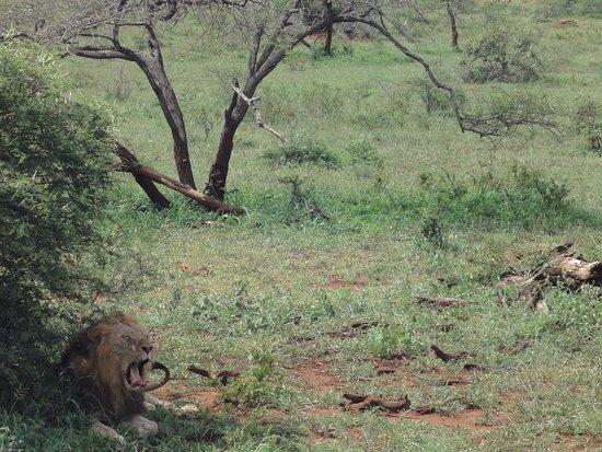 St Lucia, แอฟริกาใต้: A lion having a rest