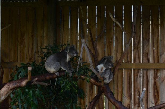 Cowes, Αυστραλία: Koalas in their enclosure