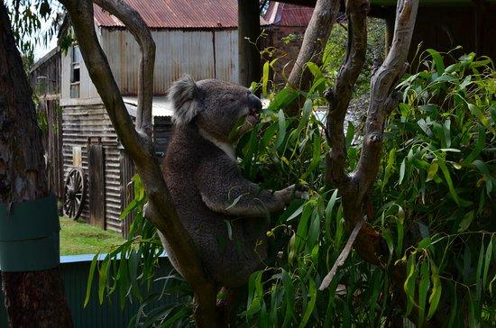Cowes, Australia: Koala busy eating