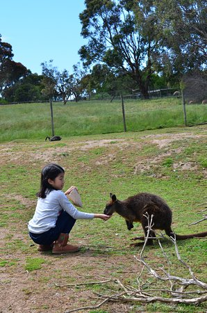 Cowes, Αυστραλία: Hand feeding wallabies in the field