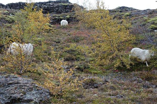 Thingvellir, Islandia: Барашки