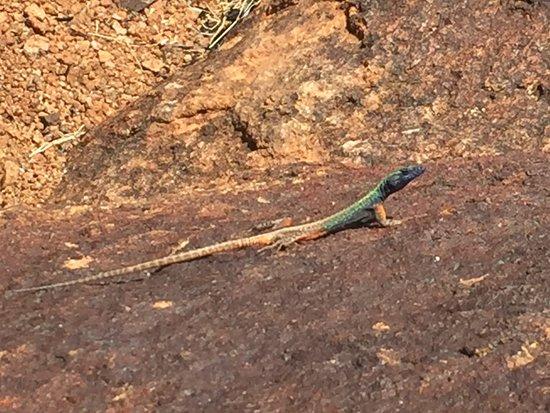 Augrabies Falls National Park, Sudáfrica: Echse sonnt sich an den Wasserfällen