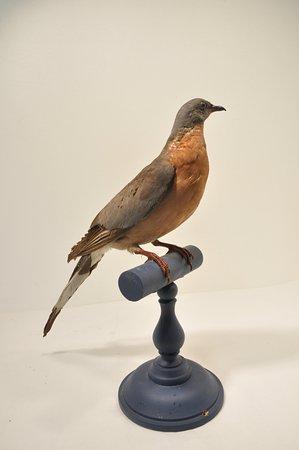 Montbrison, France: Pigeon américain