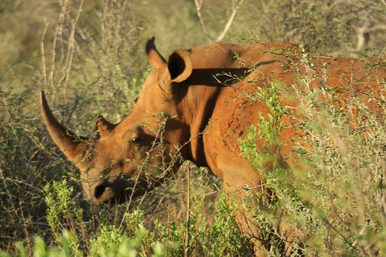 Madikwe Game Reserve, Republika Południowej Afryki: Rhino