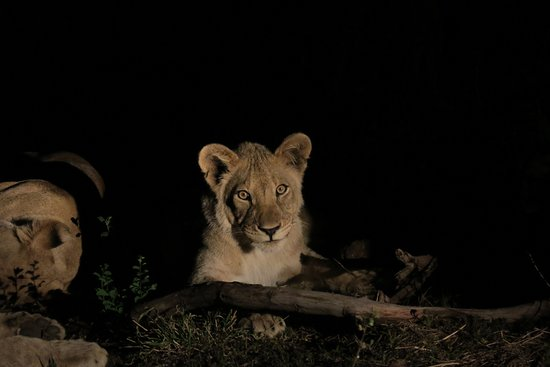 Madikwe Game Reserve, Republika Południowej Afryki: Löwe ca 10 Monate alt..wunderschön