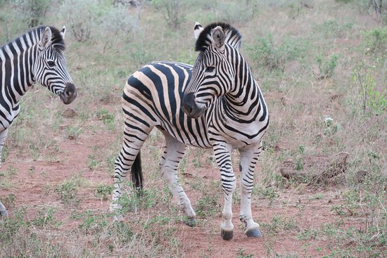 Madikwe Game Reserve, Republika Południowej Afryki: Zebra