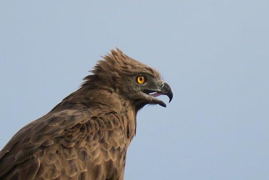 Madikwe Game Reserve, Republika Południowej Afryki: Raubvogel