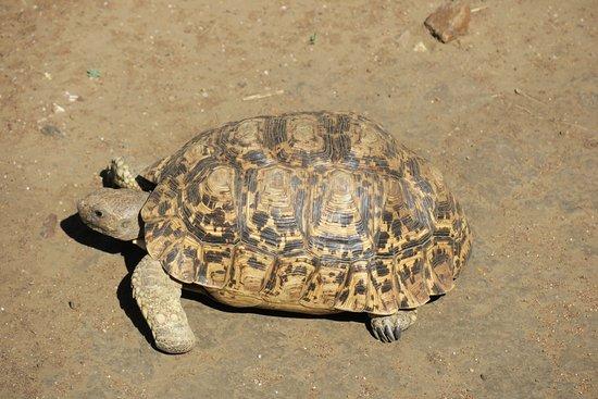 Impodimo Game Lodge: Schildkröte