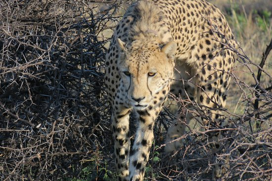 Impodimo Game Lodge: Gepard