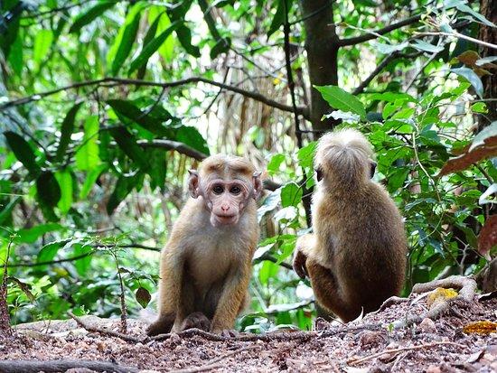 Udawattekele Sanctuary: Monkeys