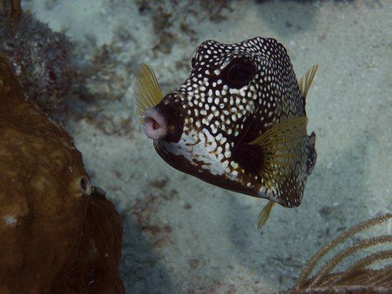Tavernier, FL: trunk fish