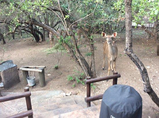 Marloth Park, South Africa: Kudus