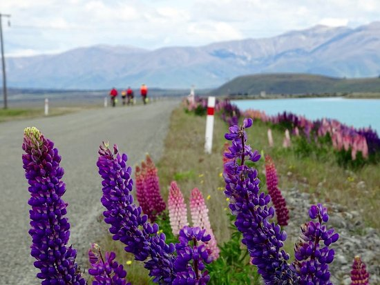 Adventure South NZ: Lupins on the side of the road on our Southern Lakes Cycle