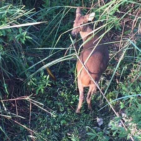 Jorhat, India: Swamp Deer in Kaziranga National Park