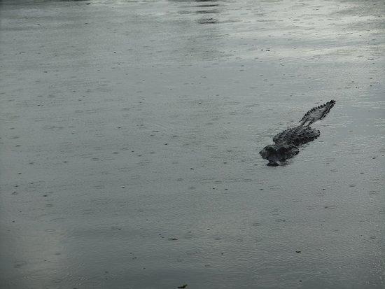 Westwego, LA: 'Bob' the alligator