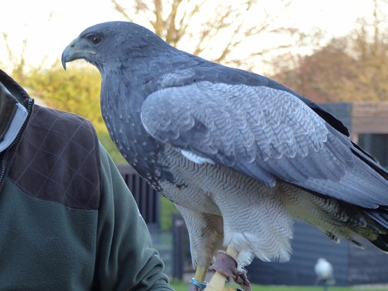 Cullompton, UK: Maya - Chilian Blue Eagle
