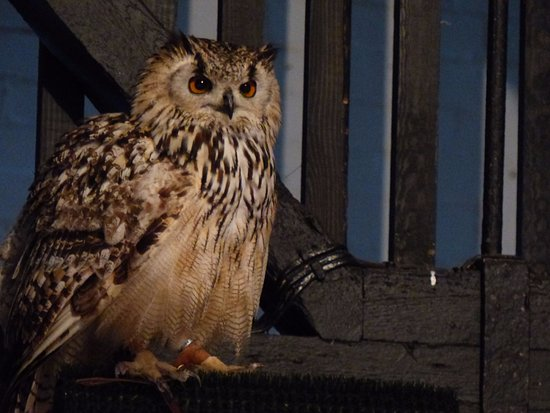 Cullompton, UK: Buffy - Bengal Eagle Owl