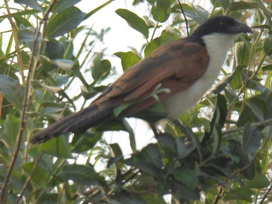 Katima Mulilo, Намибия: Coucal