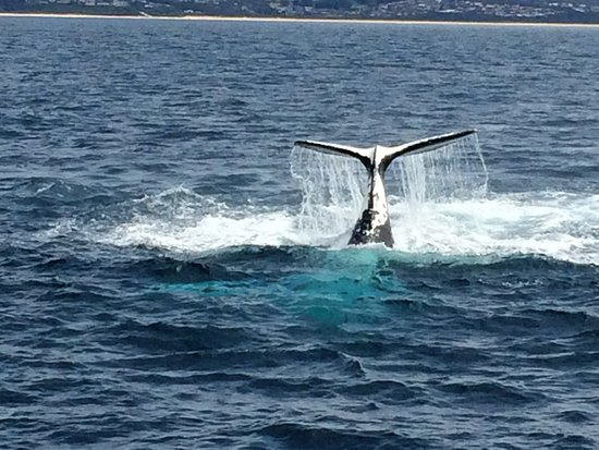 Merimbula, Australia: Look carefuly and the pale blue in front of the tail is the whale!