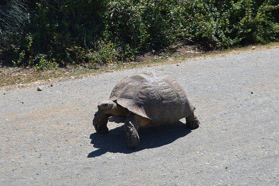 Addo Elephant National Park, Sudafrica: Reuzenschildpad