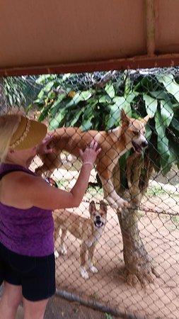 Kuranda, Australien: Dingo on the fence
