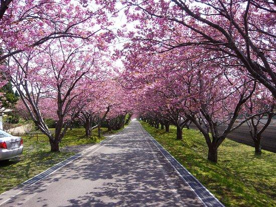 函館市, 北海道, 神社から海に向かっての桜並木、五稜郭の桜が終わるころが見ごろ