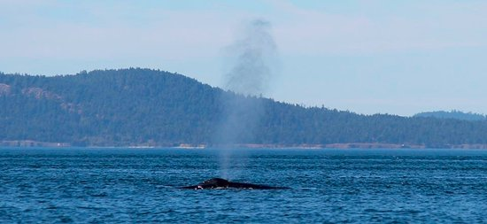 White Rock, Canada: Humpback Whales