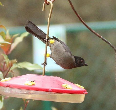 San Gerardo de Dota, Costa Rica: Yellow-thighed Finch