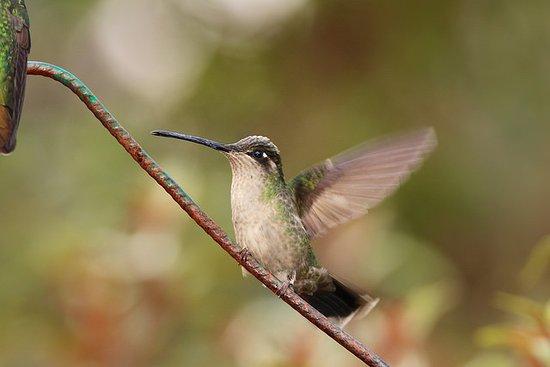 San Gerardo de Dota, Costa Rica: Magnificent Hummingbird