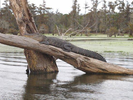 Breaux Bridge, Луизиана: Un gros alligator prenant un bain de soleil