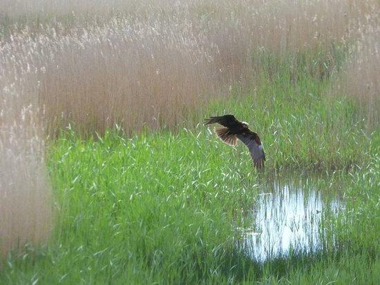 Westleton, UK: marsh harrier
