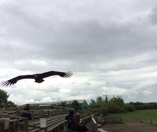 Andover, UK: outdoor vulture display